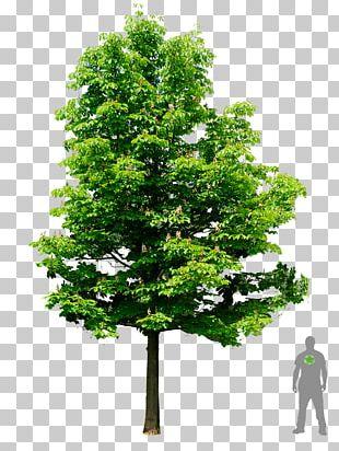 European Horse-chestnut Tree Oak Architecture PNG