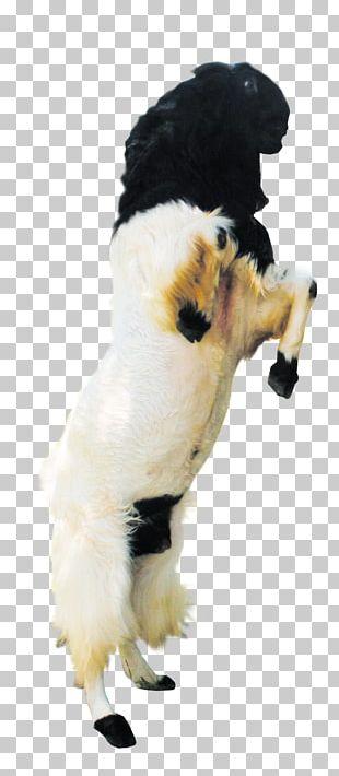 Jamnapari Goat Boer Goat Kalahari Red Sheep Sate Kambing PNG