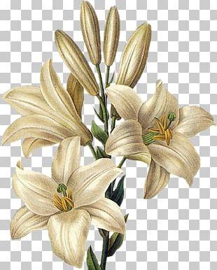 Botany Botanical Illustration Lilium 'Stargazer' Tiger Lily Drawing PNG