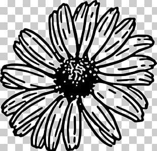 Daisy Family Drawing Barberton Daisy PNG