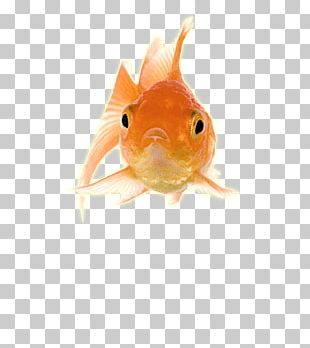 Gold Fish Front PNG
