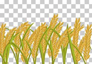 Rice Crop Wheat Paddy Field PNG