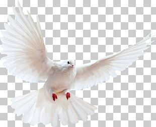 Domestic Pigeon Columbidae Bird PNG
