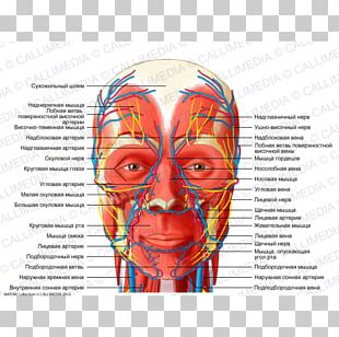 Head And Neck Anatomy Nerve Human Body Nervous System PNG