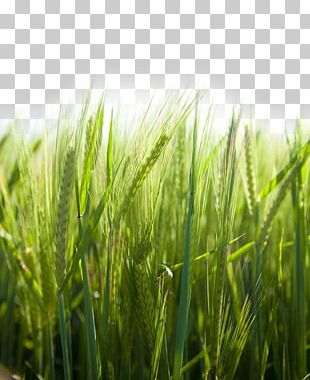 Paddy Field Rice Icon PNG