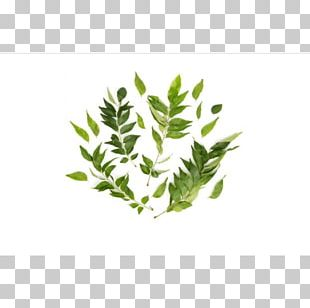 Herb Plant Stem Leaf Branching PNG