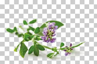 Alfalfa Nutrition Health Food PNG