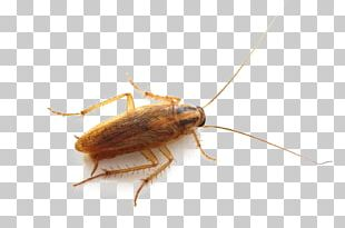 German Cockroach Insect Pest Control Bed Bug PNG