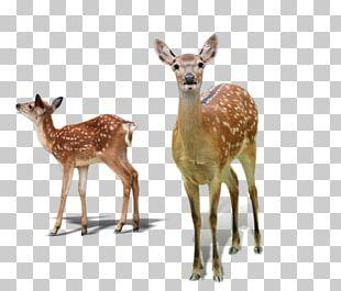 White-tailed Deer Red Deer Sika Deer Tiger PNG