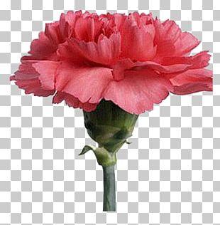 Carnation Cut Flowers Plant Hydroponics PNG