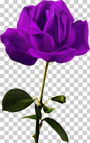 Garden Roses China Rose Cabbage Rose Beach Rose Petal PNG