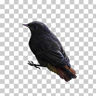 Bird Finch American Crow PNG