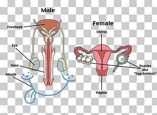 Female Reproductive System Human Reproductive System Human Body PNG
