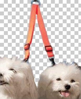 Maltese Dog Havanese Dog Puppy Dog Breed Companion Dog PNG