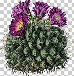 Cactus Turbinicarpus Horripilus Stock Photography PNG