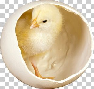 Silkie Fried Chicken Desktop Chicken Meat Easter PNG