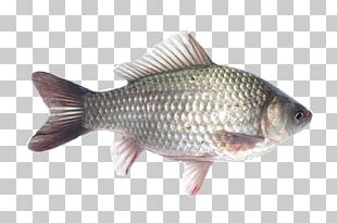 Ranchu Telescope Comet Common Carp Common Goldfish PNG