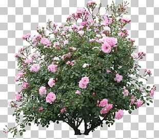 Shrub Flower Plant Rose PNG