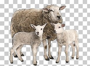 Suffolk Sheep Goat Merino Stock Photography Cattle PNG