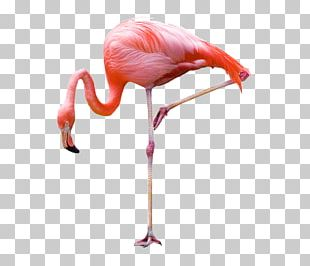 Greater Flamingo Bird Stock Photography PNG