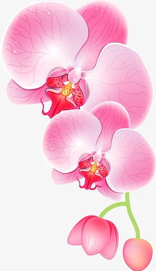Pink Orchid PNG