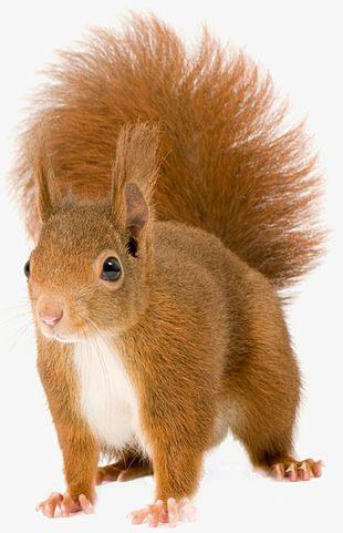 Red Squirrel PNG