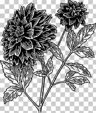 Dahlia Drawing Flower Black And White PNG