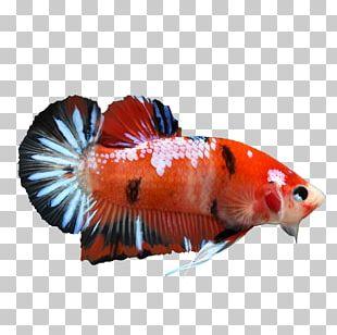Koi Veiltail Siamese Fighting Fish PNG