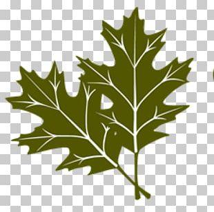 Tree Maple Leaf Social Status Hazel PNG