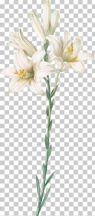 Madonna Lily Orange Lily Botanical Illustration Botany Cut Flowers PNG