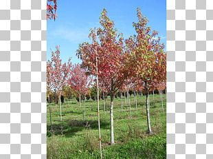 Sugar Maple Tree Shrub Sweetgum Deciduous PNG