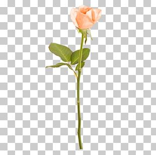 Rose Cut Flowers Floral Design Branch Plant Stem PNG
