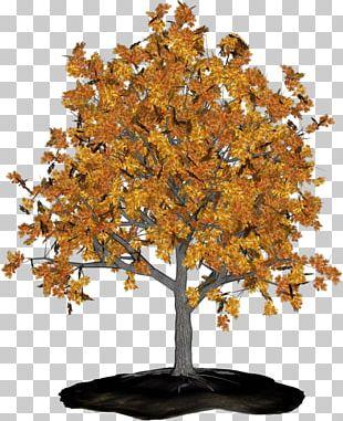 Tree Branch Sweetgums Maple Aastarõngad PNG