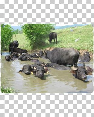 Water Buffalo National Park Herd American Bison PNG