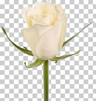 Garden Roses Cut Flowers White Plant Stem PNG