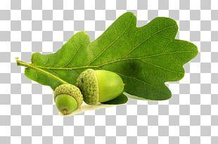 English Oak Northern Red Oak Acorn Leaf Conifer Cone PNG