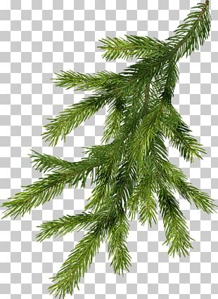Nordmann Fir Pine Branch Norway Spruce Christmas Tree PNG