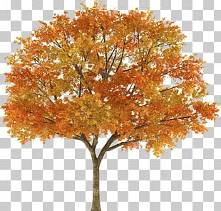 Tree Autumn Maple Stock Photography Branch PNG