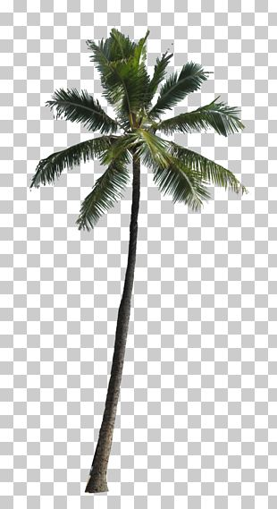 Arecaceae Computer File PNG