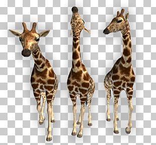 Northern Giraffe Animal PNG