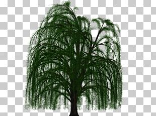 Prairie Willow Branch Weeping Willow Tree Deciduous PNG