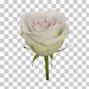 Garden Roses Cabbage Rose Floribunda Cut Flowers Floristry PNG