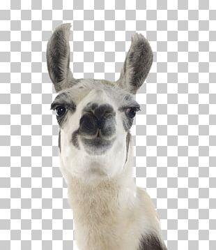 Llama Stock Photography Machu Picchu Desktop Alpaca PNG