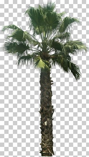 Asian Palmyra Palm Arecaceae Washingtonia Filifera Tree Attalea Speciosa PNG