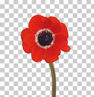 Poppy Red Flower PNG, Clipart, Bordure, Bright, Color