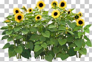 Common Sunflower Flower Garden PNG