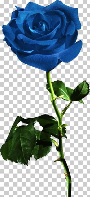 Garden Roses Blue Rose Flower Red PNG
