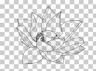 Nelumbo Nucifera Flower Drawing Egyptian Lotus PNG