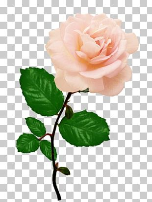 Rose Flower Red Pink PNG