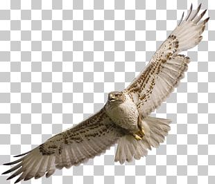 Bird Owl Red-tailed Hawk PNG